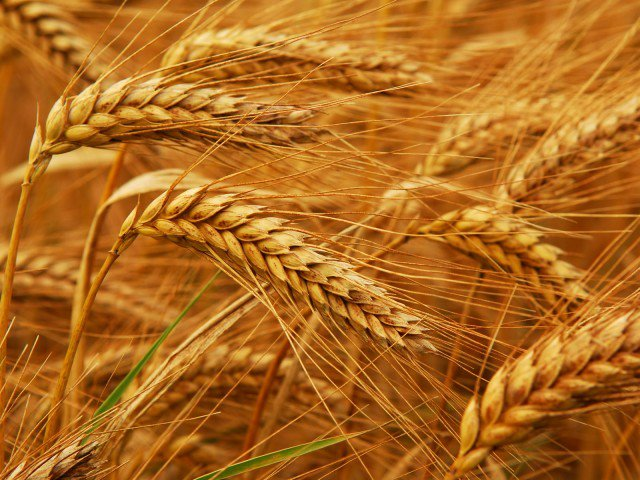 913828-wheatprocurement-1503433864-149-640x480