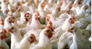 1092963-poultry-1519099256-569-640x480
